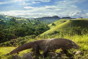 Số lượng rồng Komodo ở Indonesia tăng nhanh