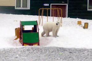 Đàn gấu Bắc Cực đổ bộ quần đảo Nga, làm náo loạn khu dân cư