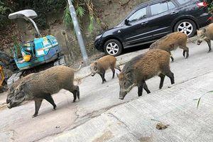 Hong Kong ngăn chặn cuộc 'xâm lăng' của lợn rừng