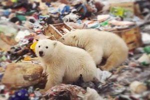 Quần đảo Nga ban bố tình trạng khẩn cấp vì gấu Bắc cực tấn công