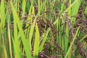 Lạ lùng với ruộng lúa tím, dùng nấm, la hán quả... phòng sâu bệnh