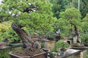 Nhật Bản: Bị trộm cây quý 400 năm tuổi và phản ứng bất ngờ của người chủ