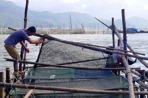 Dân ở đây ăn Tết to nhờ nuôi cá mú, cá vẩu, bán 300 ngàn/ký