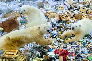 Gấu Bắc Cực tấn công, 'quậy tưng' quần đảo Nga