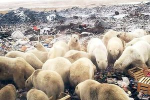 Gấu Bắc Cực 'xâm chiếm' đảo khiến Nga phải ban bố tình trạng khẩn