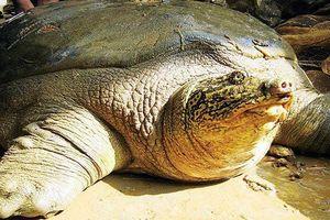 Trọng lượng rùa Hoàn Kiếm ở Đồng Mô tăng nhanh