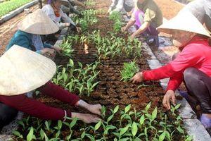 Dự án nuôi bò nghìn tỷ trồng chuối: Công nhân Chăn nuôi Bình Hà không có tiền ăn tết