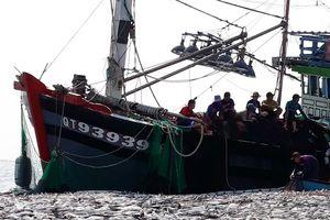 Cận cảnh mẻ cá 'khủng' gây 'ngợp' của ngư dân Quảng Trị