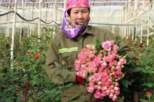 Sát ngày Lễ Tình nhân, giá hoa hồng Đà Lạt tăng chóng mặt