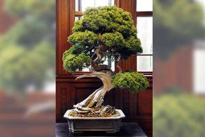 Trộm bonsai trị giá 13 triệu yên