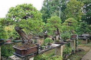 Bị mất cắp chậu bonsai 400 năm tuổi, người phụ nữ Nhật Bản đăng hướng dẫn chăm sóc