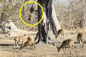 Báo hoa mai phi thân từ trên cây, bắt linh dương Impala