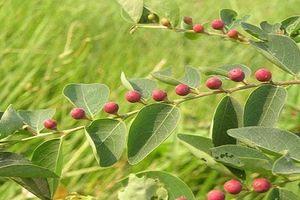 Khám phá cây cù đề - cây quý có ở Việt Nam