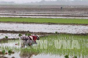 Hoàn thành gieo cấy lúa xuân trong tháng 2