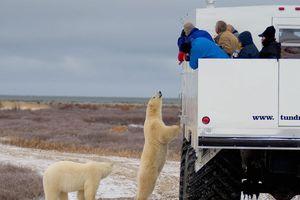 Cuộc sống giữa đàn gấu Bắc Cực tại thị trấn hoang vu ở Canada