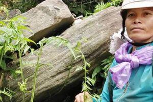 Trèo đèo, lội suối 'săn' đặc sản rau dớn rừng, đếm lọn thu tiền