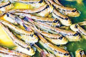 Khám phá món cá thòi lòi có hình dáng kỳ dị ở Cà Mau