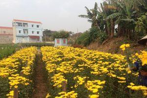 Thời tiết bất lợi, người trồng hoa bán Rằm tháng Giêng đứng ngồi không yên