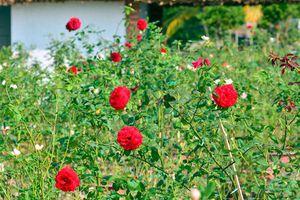 Người dân Kiên Giang 'sống ảo' cháy máy ở vườn hoa sao nhái cực đẹp