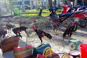 Hàng chục cảnh sát đột kích trường gà quy mô lớn dịp Tết