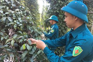 Bà Rịa – Vũng Tàu giúp nông dân 'giải cứu' tiêu trong mùa thu hoạch