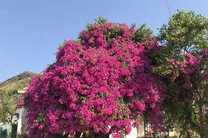 Hoa giấy 'khủng' tuổi đời hơn 50 năm trên đảo Lý Sơn hút khách du lịch