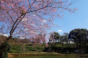 Hoa anh đào Măng Đen khoe sắc trong nắng xuân