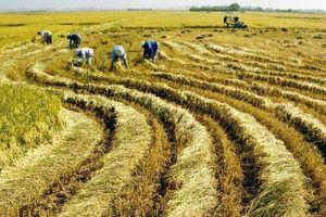 Đồng bằng sông Cửu Long: Lúa gạo rớt giá, nông dân lao đao