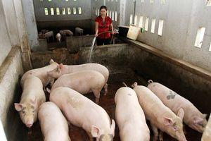 Ứng phó dịch tả lợn châu Phi: Nhiều địa phương vẫn chủ quan