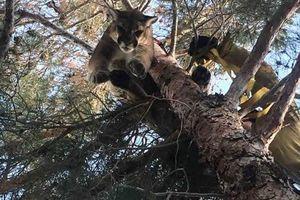 Giải cứu sư tử trên cây