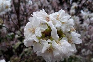 Lễ hội hoa Anh đào Nhật Bản - Hà Nội sẽ diễn ra từ 29 đến 31/3 tại Hà Nội