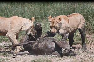 Linh dương đầu bò chết thảm dưới nanh vuốt sư tử