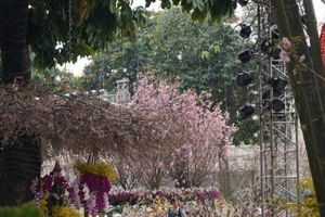 Lễ hội hoa anh đào Nhật Bản – Hà Nội 2019 khai mạc vào tháng 3