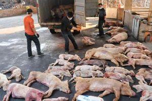 Dịch tả lợn châu Phi nguy hiểm thế nào, có lây lan sang người không?