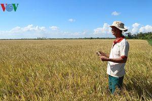 Nông dân ĐBSCL lao đao vì giá lúa rớt thê thảm