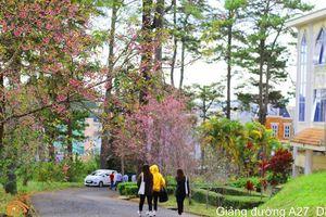 Đại học Đà Lạt đẹp mơ màng trong sắc hồng mai anh đào