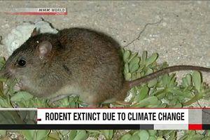 Loài thú gặm nhấm đầu tiên tuyệt chủng do biến đổi khí hậu