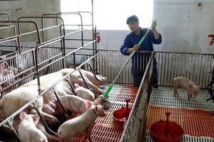 Chủ động ứng phó dịch tả lợn châu Phi