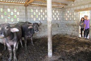 Đẩy nhanh cải tạo đàn gia súc bằng thụ tinh nhân tạo