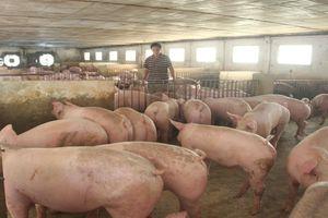 FAO ra khuyến cáo về dịch tả lợn châu Phi