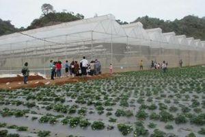 Mộc Châu: Vườn dâu tây có gì ngất ngây mà cả nghìn người tới?