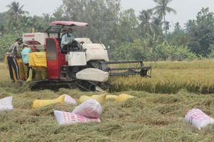 Gỡ khó tiêu thụ lúa đông xuân vùng đồng bằng sông Cửu Long