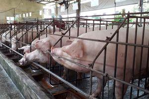Đồng Nai họp khẩn đối phó dịch tả lợn châu Phi