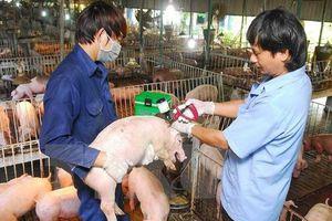 Dich tả lợn châu Phi nguy hiểm như thế nào?