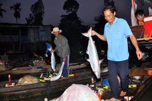 'Trúng mánh' cá bông lau to bự, bán giá gần nửa triệu đồng/kg