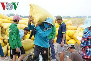 Giá lúa một số nơi ở ĐBSCL tăng nhẹ, nông dân bán cầm chừng