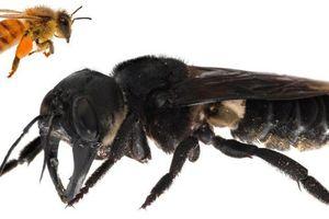 Lộ diện loài ong khổng lồ to bằng ngón tay cái ở Indonesia