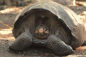 Rùa khổng lồ tưởng tuyệt chủng 100 năm trước nay lại 'tái xuất giang hồ'