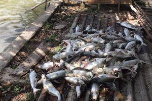Chết bất thường trước ngày thu hoạch, ao cá tra 40 tấn nghi bị bỏ độc?