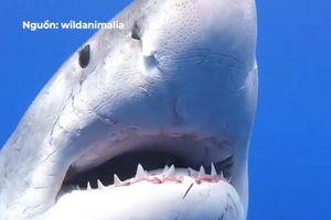 Cá mập khổng lồ lượn lờ bên dưới thuyền của những thợ lặn